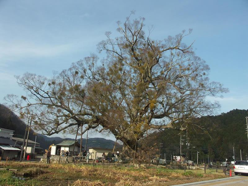 オーダーメイド家具 野間の大ケヤキ全形